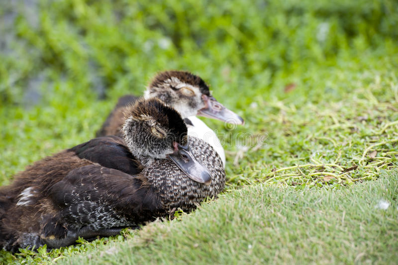 Download Sleep Duck Royalty Free Stock Photo - Image: 28954315