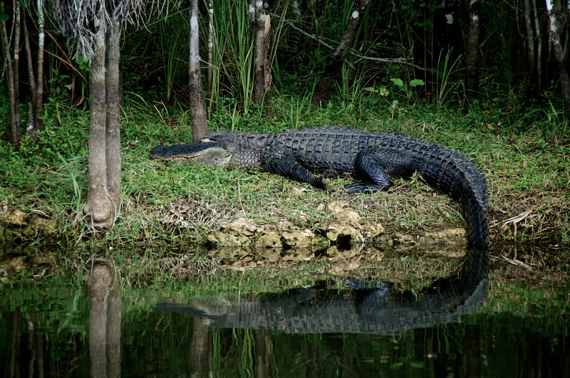 Sleeping Alligator at rest on riverbank. A large Black Alligator is resting on the riverbank in the Everglades of Florida royalty free stock images
