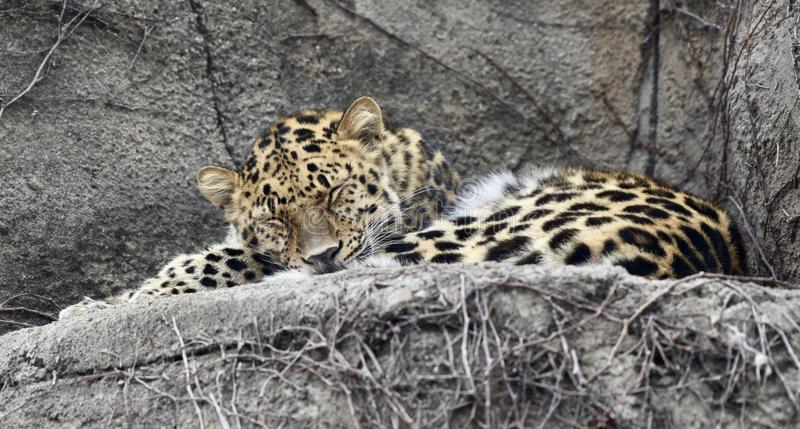 A Sleeping Amur Leopard royalty free stock image