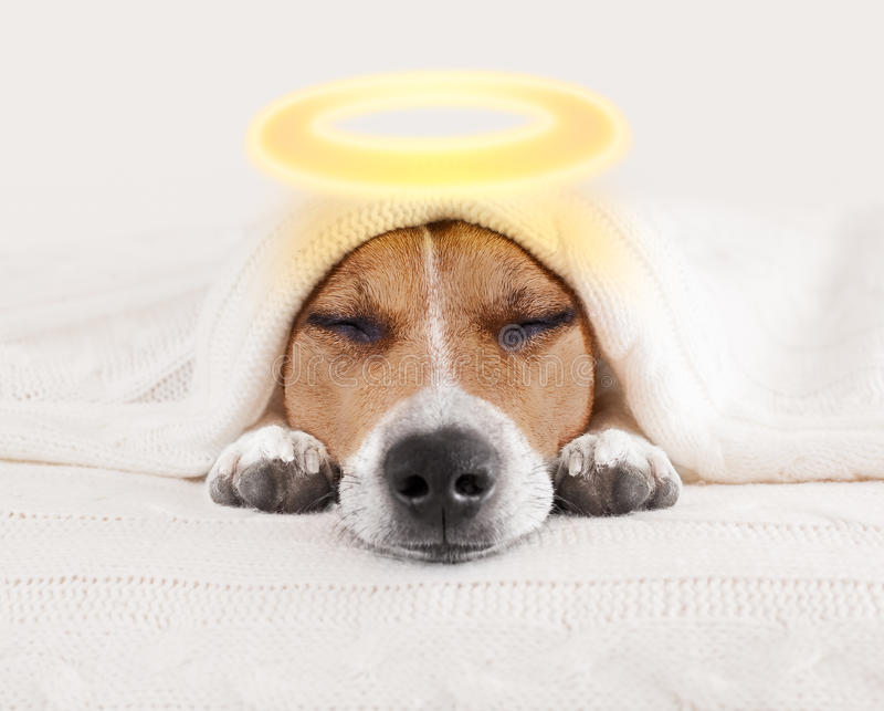 Sleeping Angel Halo Dog In Bed Stock Image Image Of Gold