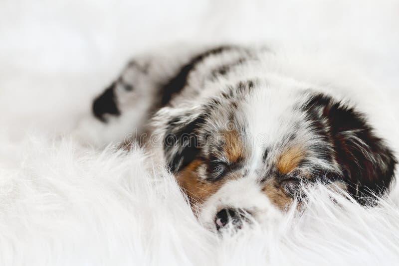 Sleeping Australian Shepherd Puppy Dog arkivbild