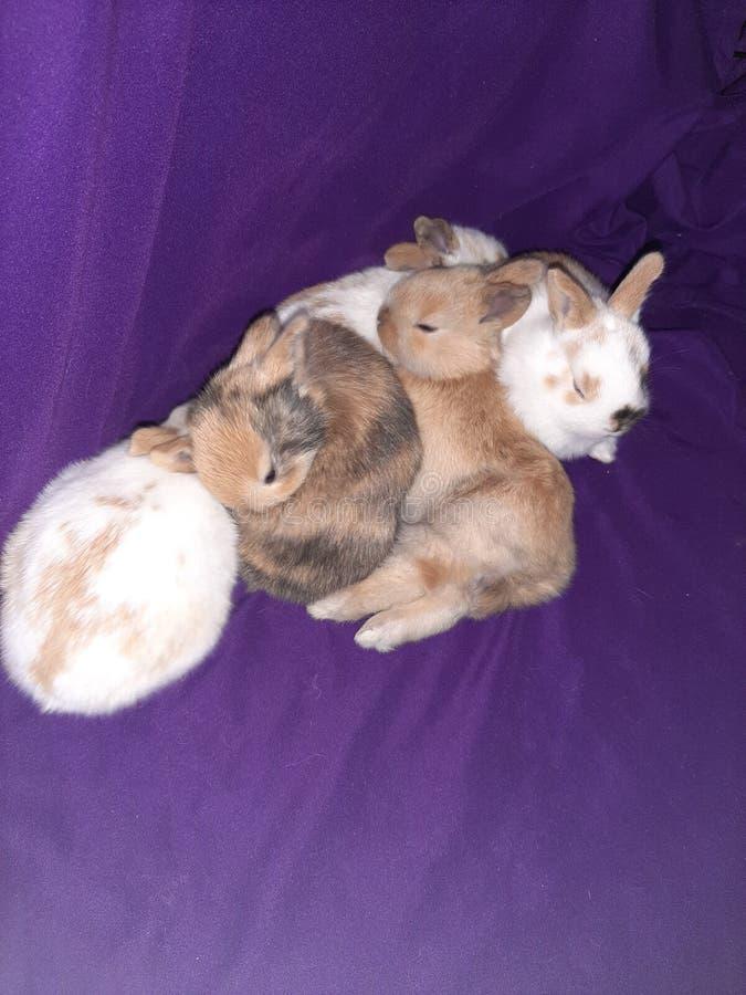 Sleeping baby bunnies royalty free stock photography