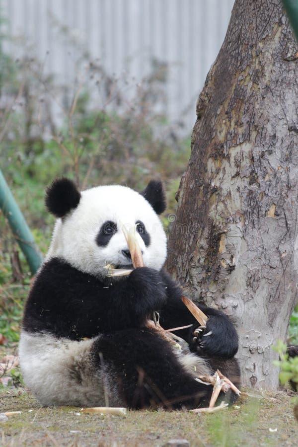 Free Sleeping Baby Panda In China Royalty Free Stock Image - 132713576