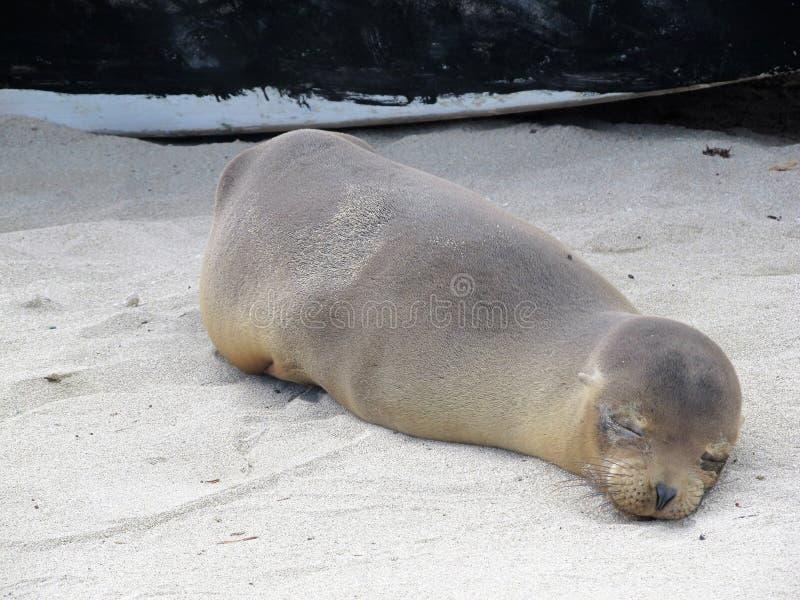 Sleeping baby sea lion stock photo