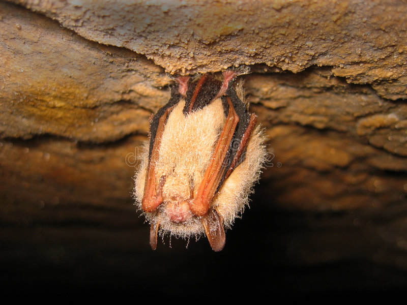 Sleeping bat. Eastern pipistrelle (Pipistrellus subflavus) bat sleeping in a cave royalty free stock photos