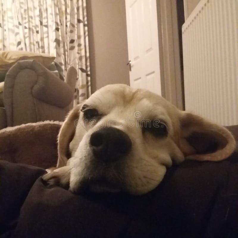 Sleeping Beagle royalty free stock images