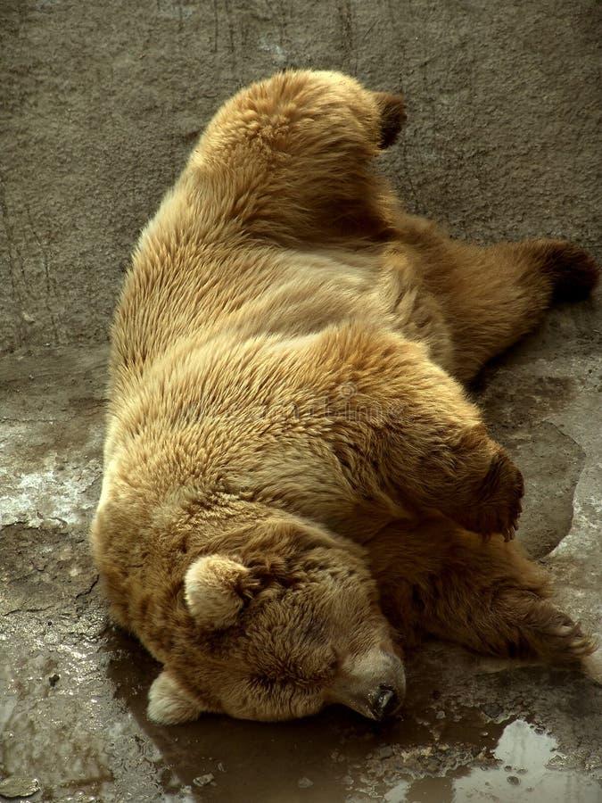 Download Sleeping bear stock photo. Image of animal, funny, mammal - 501304