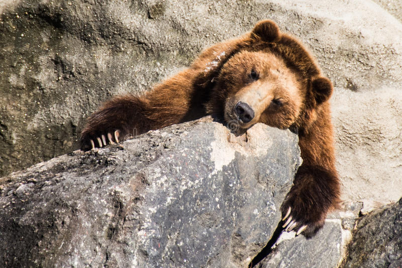 Sleeping Bear. Bear at Bronx Zoo 2014 Winter royalty free stock photo