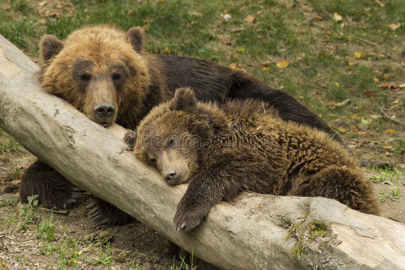 Download Sleeping bear cub stock photo. Image of outdoors, environment - 28838200