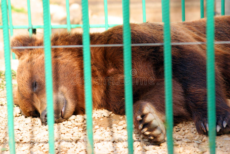 Sleeping bear in zoo cage stock image