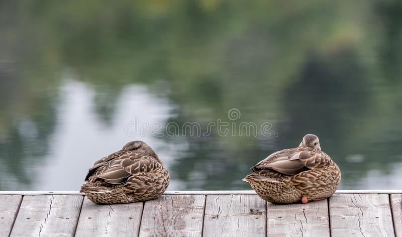 Sleeping Beauties, Mallard Ducks Twins on a Pier Taking a Nap. Lamarche, Lac St-Jean, Quebec, Canada stock photography