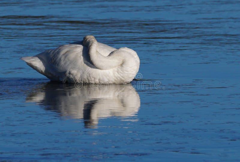 Sleeping Beauty in Swan Form royalty free stock photo