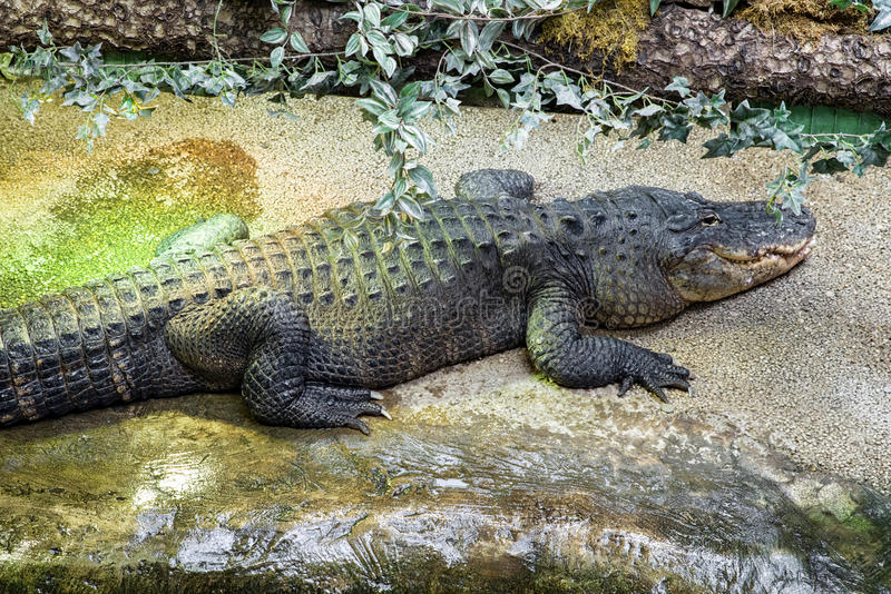 Sleeping big crocodile. In Tropicarium, Budapest stock photography