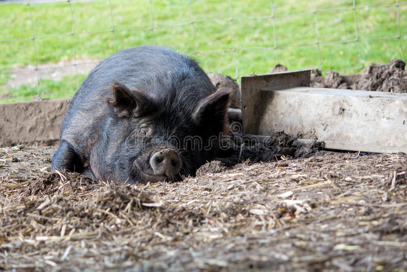 Sleeping black Guinea Hog. Happy sleeping black Guinea Hog in pen royalty free stock photography