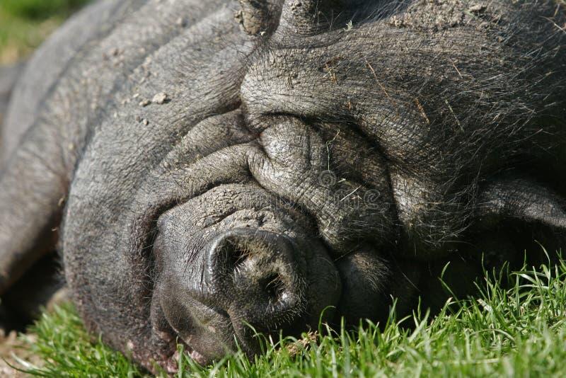 Sleeping Black Pig