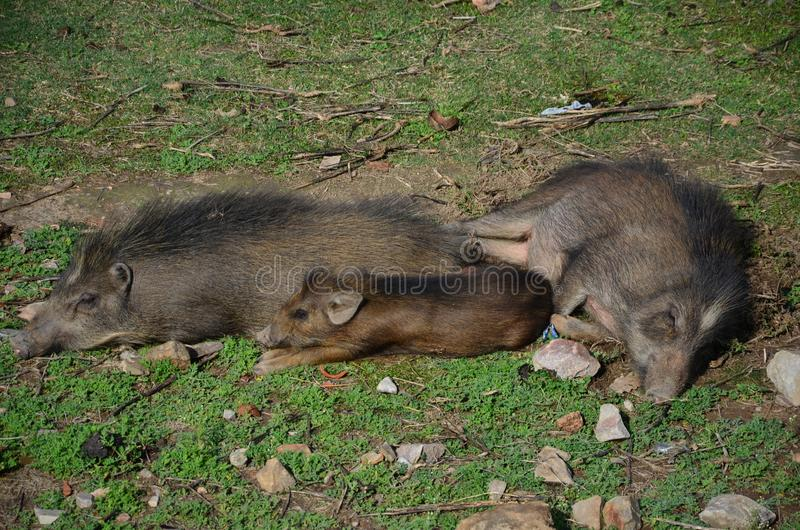 The sleeping boar family on the grass. In Asia royalty free stock images