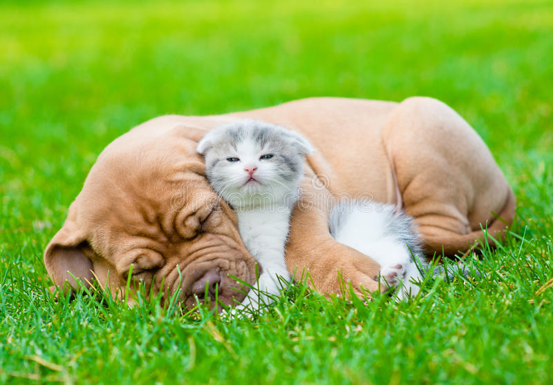 Sleeping Bordeaux puppy dog hugs newborn kitten on green grass royalty free stock photo