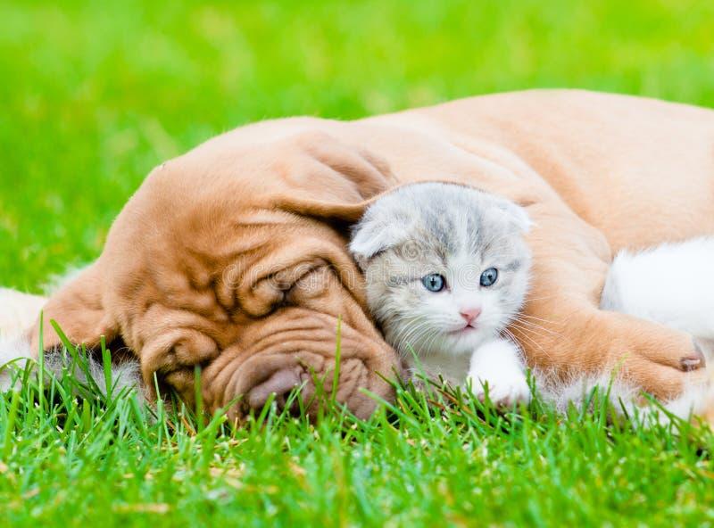 Sleeping Bordeaux puppy dog hugs newborn kitten on green grass.  stock photo