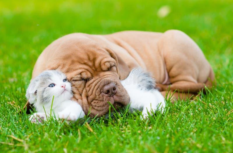 Sleeping Bordeaux puppy dog hugs newborn kitten on green grass.  stock image