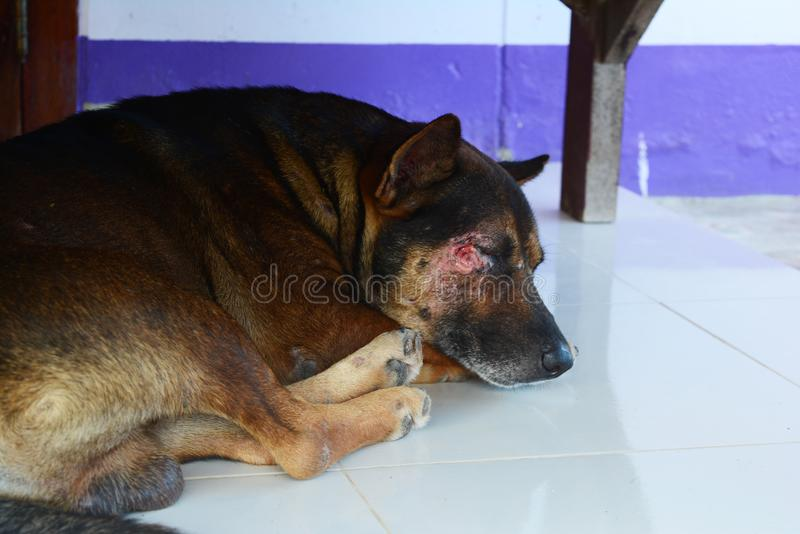 Sleeping brown dog injured on the face. The sleeping brown dog injured on the face royalty free stock photos