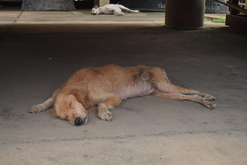 Sleeping brown dog and white dog royalty free stock photography