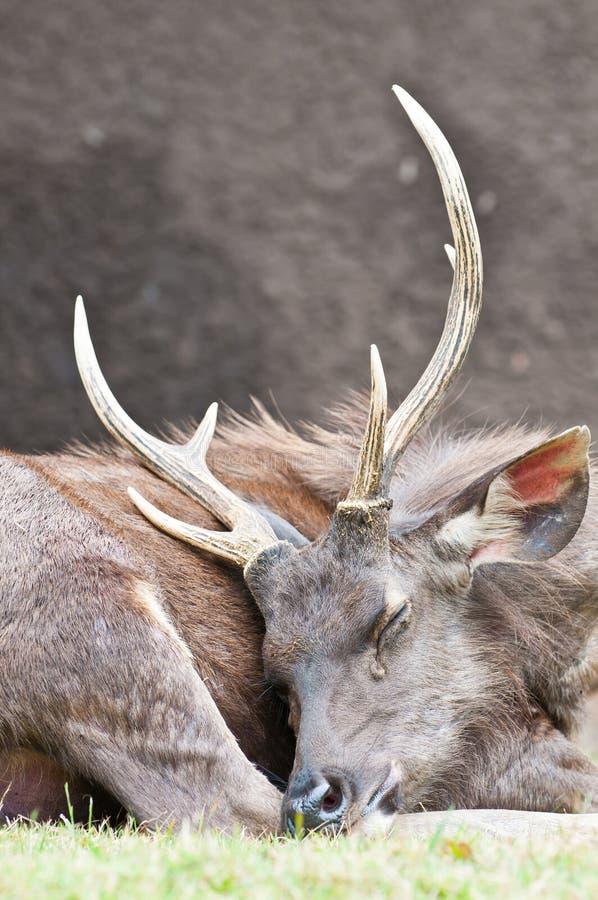 Sleeping brown hart. Close up stock image