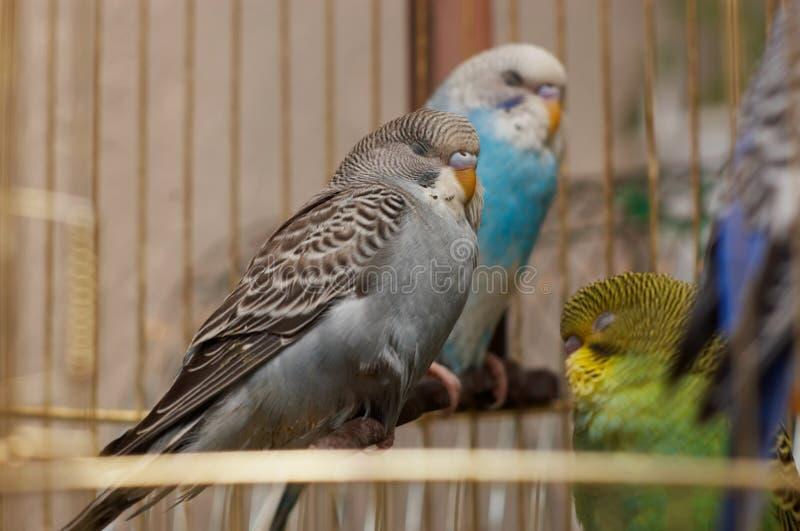 Sleeping budgerigars stock images