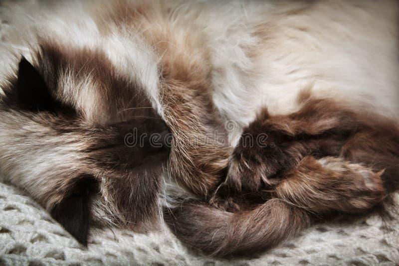 Download Sleeping cat stock photo. Image of cozy, maskaradnaya - 13249086