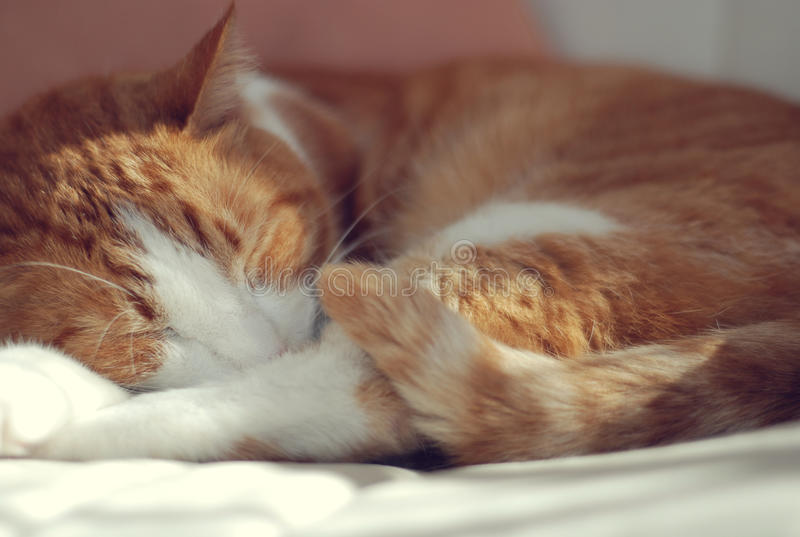 Download Sleeping cat stock photo. Image of whiskers, rests, cute - 16067992