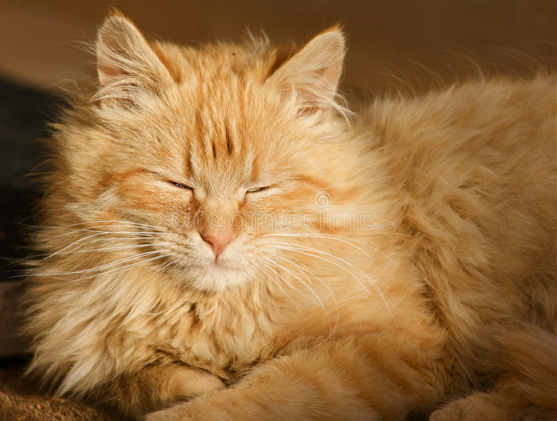 Download Sleeping cat stock photo. Image of alone, moustache, orange - 5694862