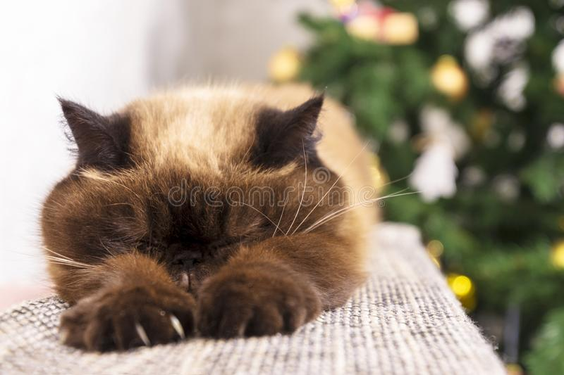 Sleeping cat against Christmas tree. Short hair Persian cat, pointcolor, selective focus.  royalty free stock photos