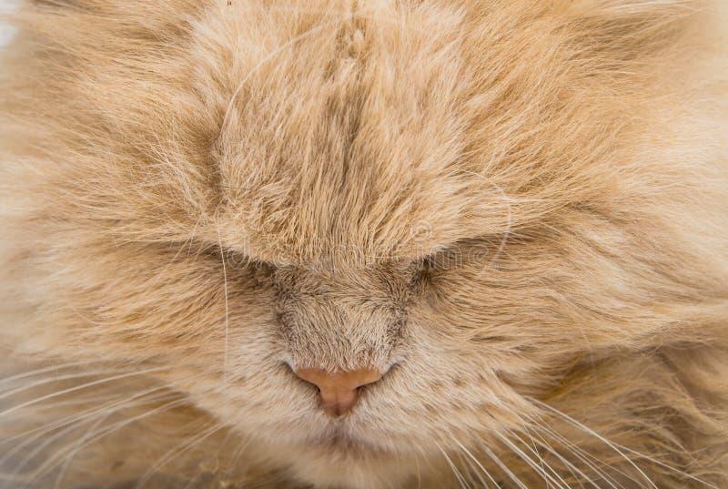 Sleeping cat face closeup royalty free stock photography