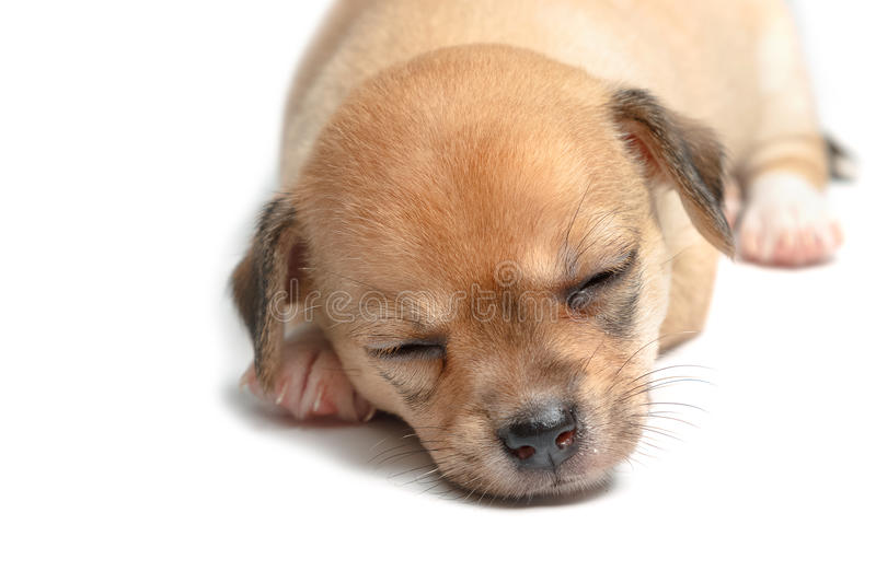 Sleeping chihuahua puppies on white stock photography
