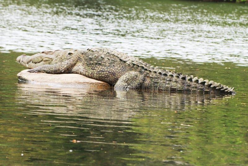 The sleeping crocodile in lake stock image