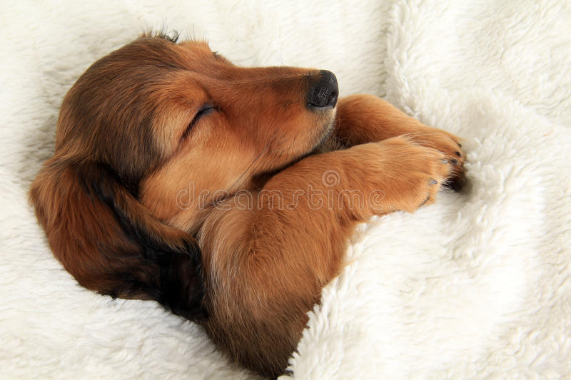 Sleeping dachshund puppy. Longhair dachshund puppy sleeping in her bed