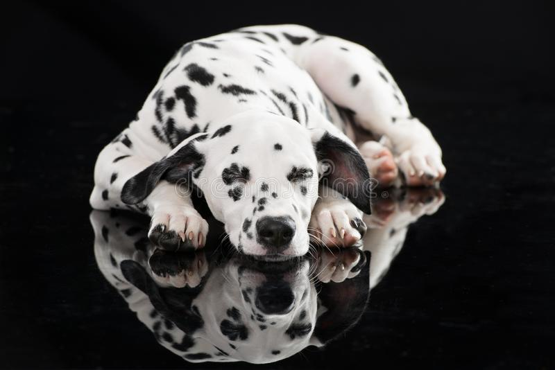 Sleeping dalmatian dog isolated on black. Sleeping young dalmatian dog lying isolated on black background an looking to camera stock photography