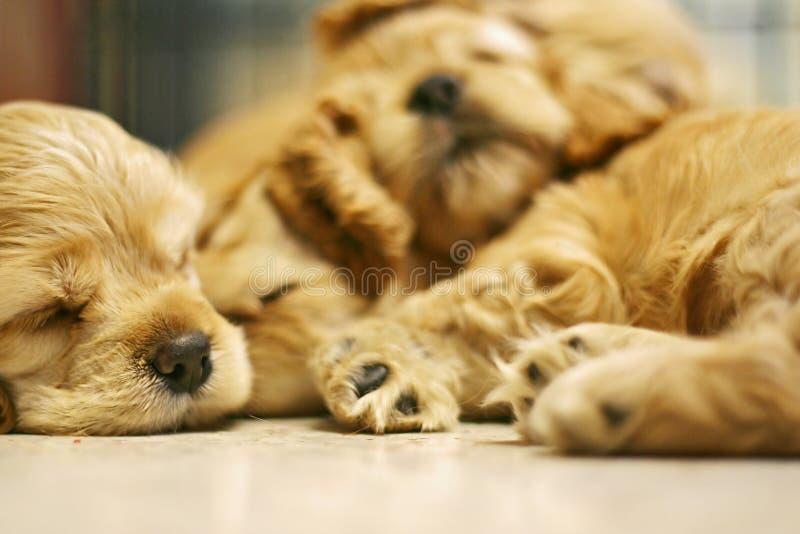 Sleeping Dog royalty free stock image