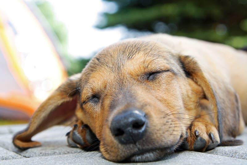 Sleeping dog. Laying on the floor stock photo