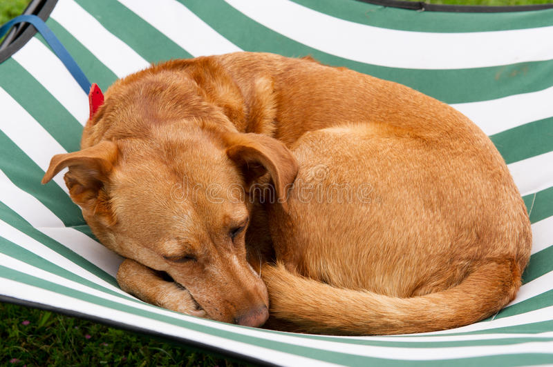 Sleeping dog. On a striped bed royalty free stock photo