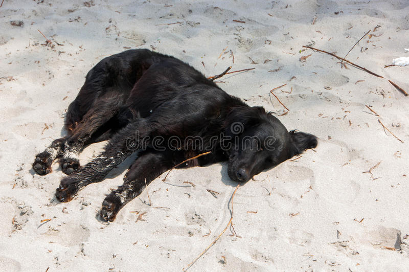 Sleeping dog on the beach stock photos