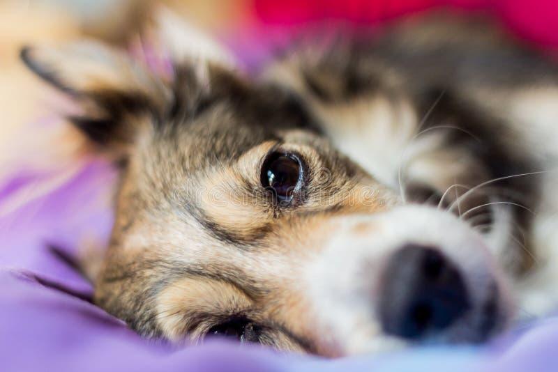 Sleeping dog. On the bed stock photo