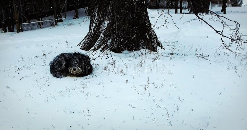 Sleeping dog behind the tree on the snow royalty free stock image