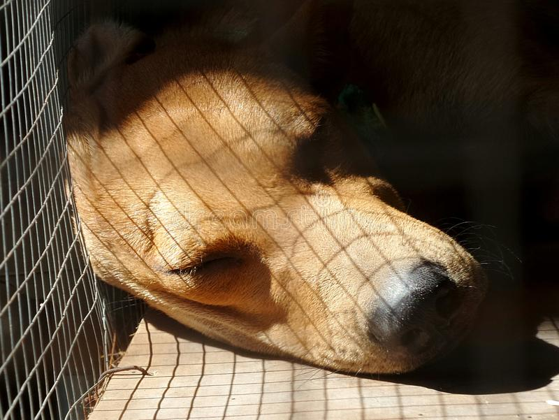 Sleeping dog in cage. Warm light through cage net on sleeping brown dog and black nose in cage royalty free stock photo