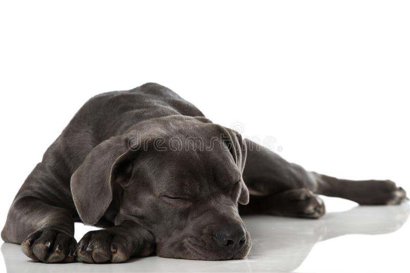 Sleeping dog. Sleeping cane corso dog on white stock images