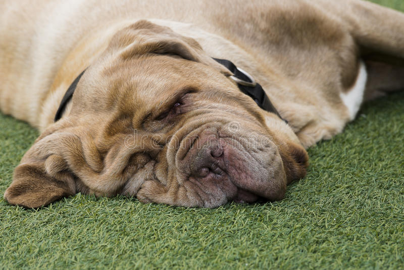 Sleeping dog. Ue de Bordeaux (Bordeaux Mastiff royalty free stock image