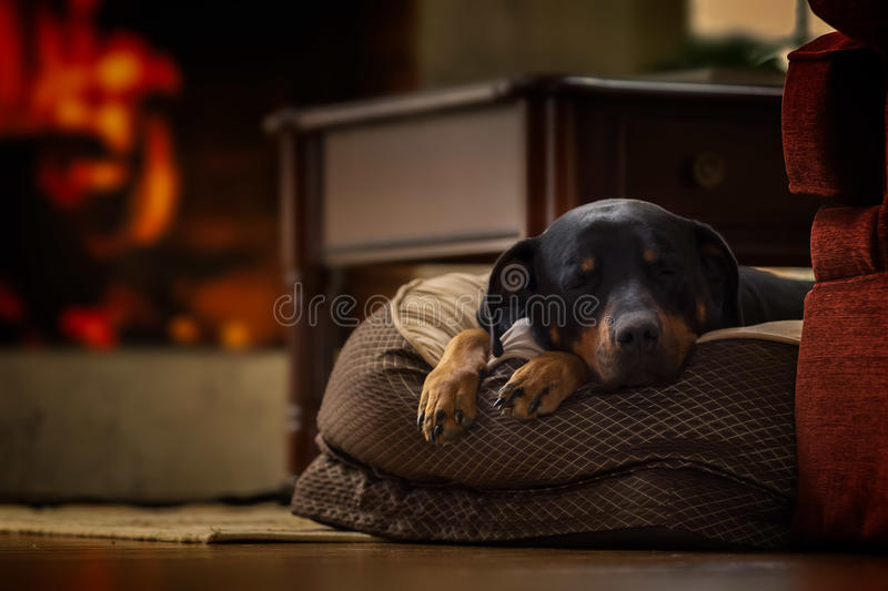 Sleeping Dog royalty free stock image