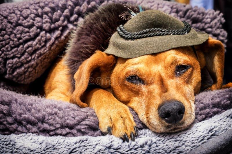 Sleeping dog. With hat - photo stock images