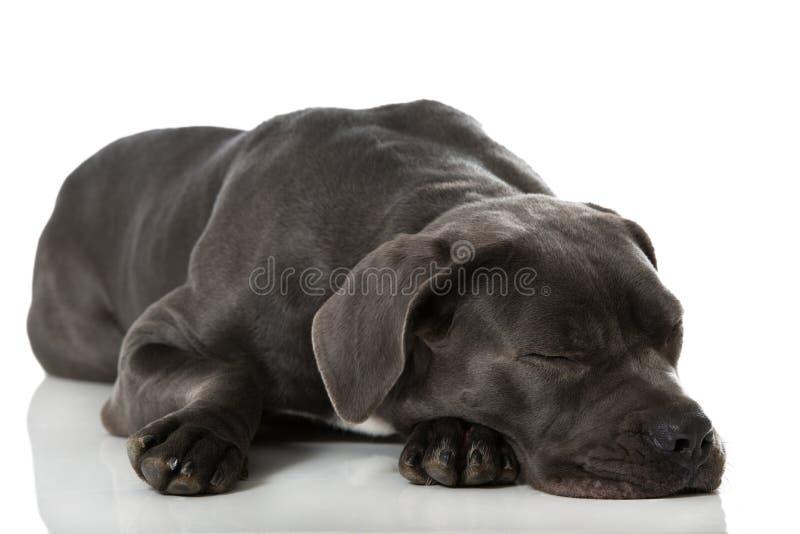 Sleeping dog. Isolated on white stock photography