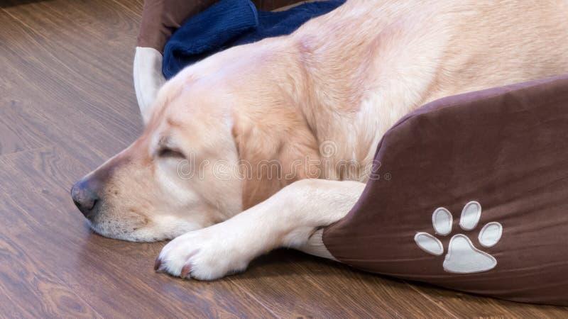 Sleeping dog. Sleeping labrador in his own dog royalty free stock image