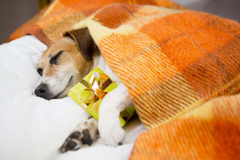 Sleeping dog with Present box gift. Sleeping cozy pet under a blanket on the pillow. In anticipation of the holiday. Do not open until Christmas royalty free stock images